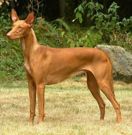 10 giống chó đắt nhất thế giới 9