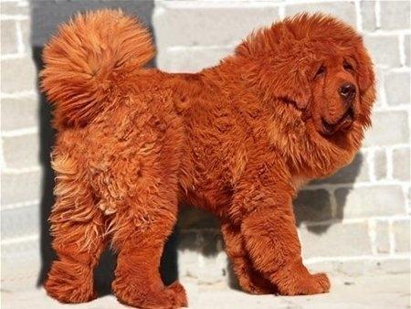 10 giống chó đắt nhất thế giới 6