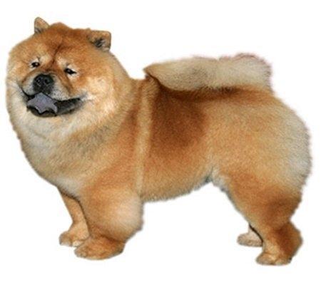 10 giống chó đắt nhất thế giới 10