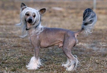 10 giống chó đắt nhất thế giới 7