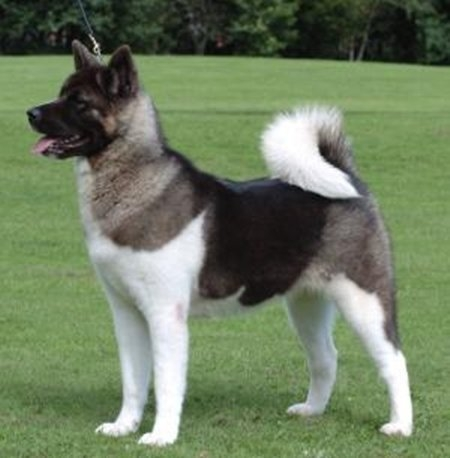 10 giống chó đắt nhất thế giới 8